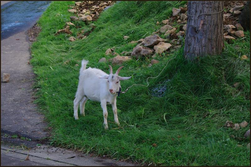おや?道路にヤギが・・・_b0019313_18194058.jpg