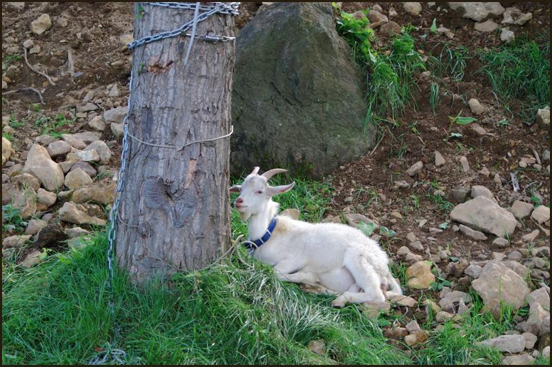 おや?道路にヤギが・・・_b0019313_1820133.jpg