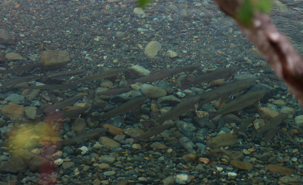 奥只見の魚を育てる会からのお知らせ_e0150433_1345647.jpg