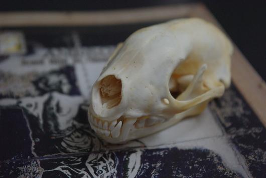 アナグマの頭骨_f0280238_1541680.jpg