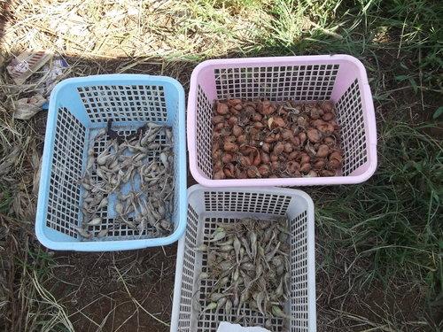 秋冬野菜の植え付けを開始..まずは球根野菜から_b0137932_3494397.jpg