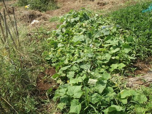 秋冬野菜の植え付けを開始..まずは球根野菜から_b0137932_3524221.jpg
