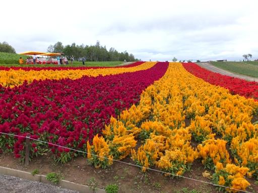 展望花畑 『四季彩の丘』_d0246960_126776.jpg