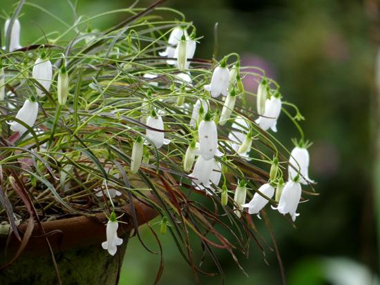 白花ホウオウシャジン_a0136293_17183012.jpg