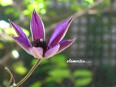紫のクレマチスと、東京五輪決定に、日本人の美しさを思う。_c0098807_19223084.jpg