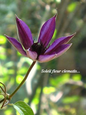 紫のクレマチスと、東京五輪決定に、日本人の美しさを思う。_c0098807_2021476.jpg