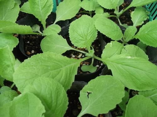 野菜苗の成長状況..._b0137932_8201064.jpg