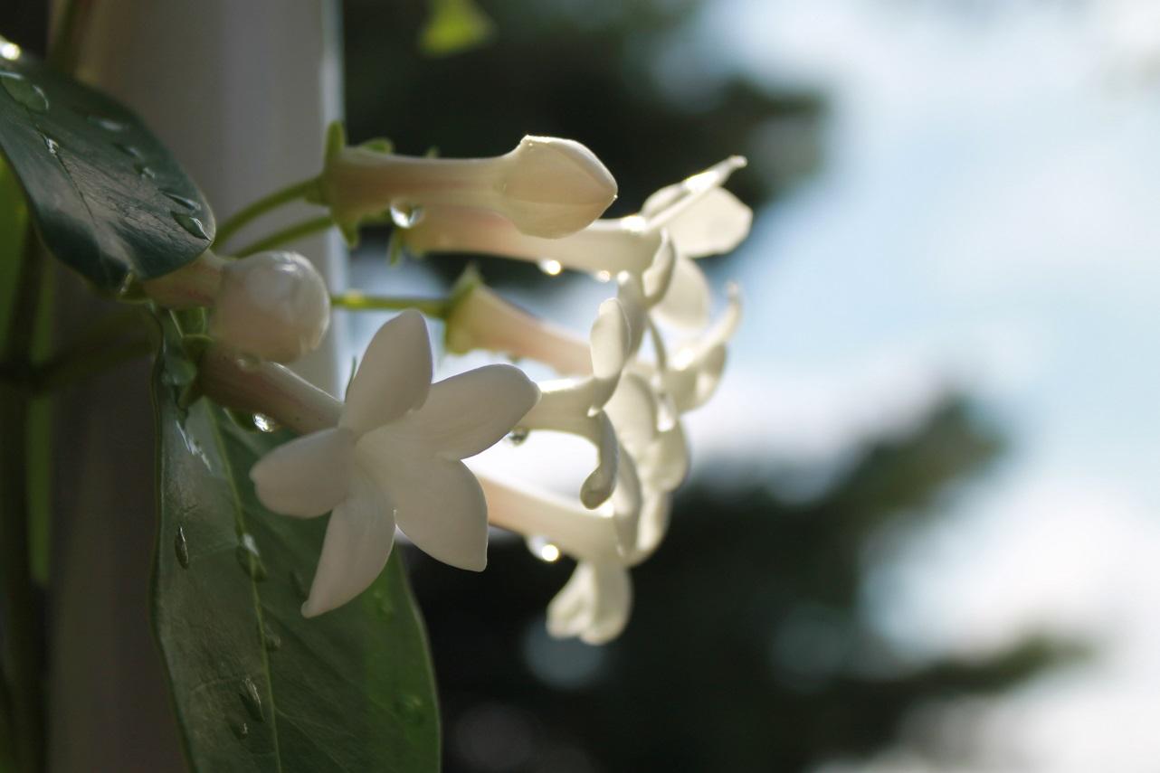 茉莉花を咲きました_f0070743_11383176.jpg