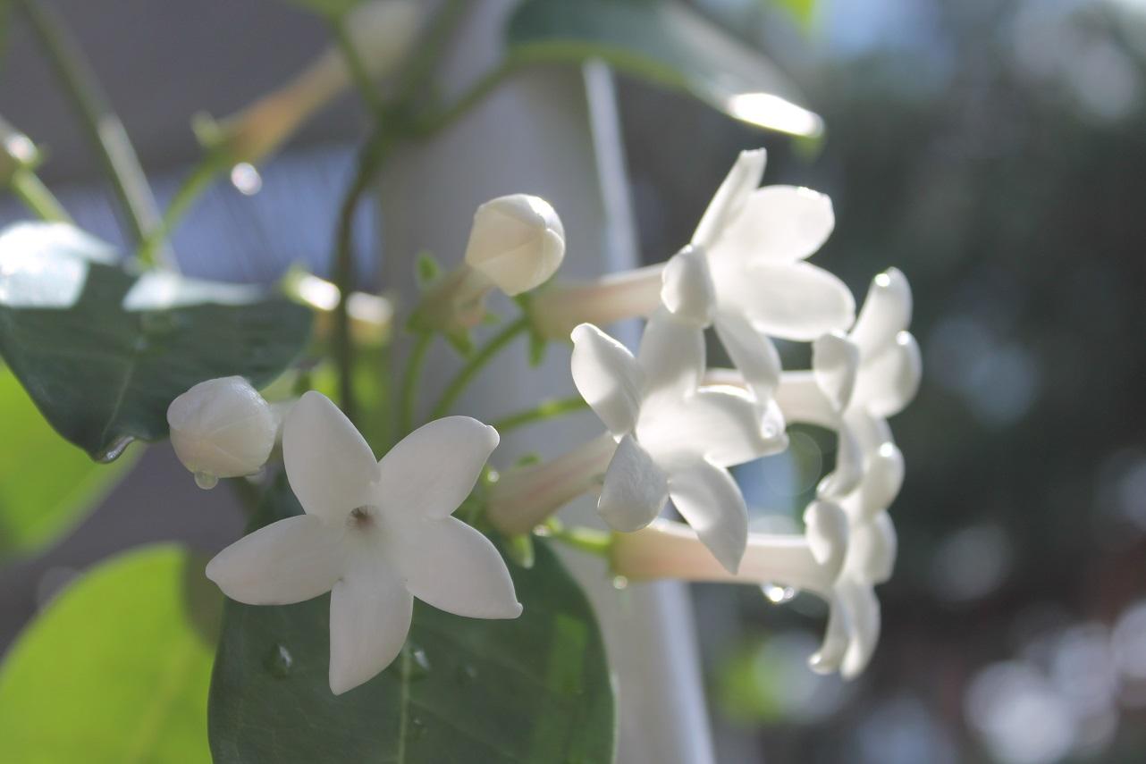 茉莉花を咲きました_f0070743_11384247.jpg