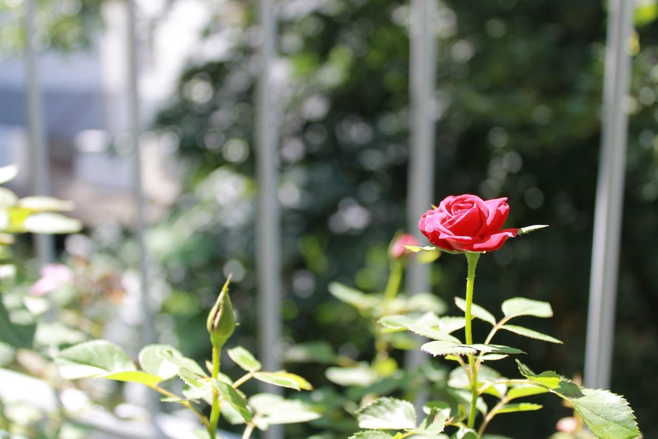 茉莉花を咲きました_f0070743_11391269.jpg