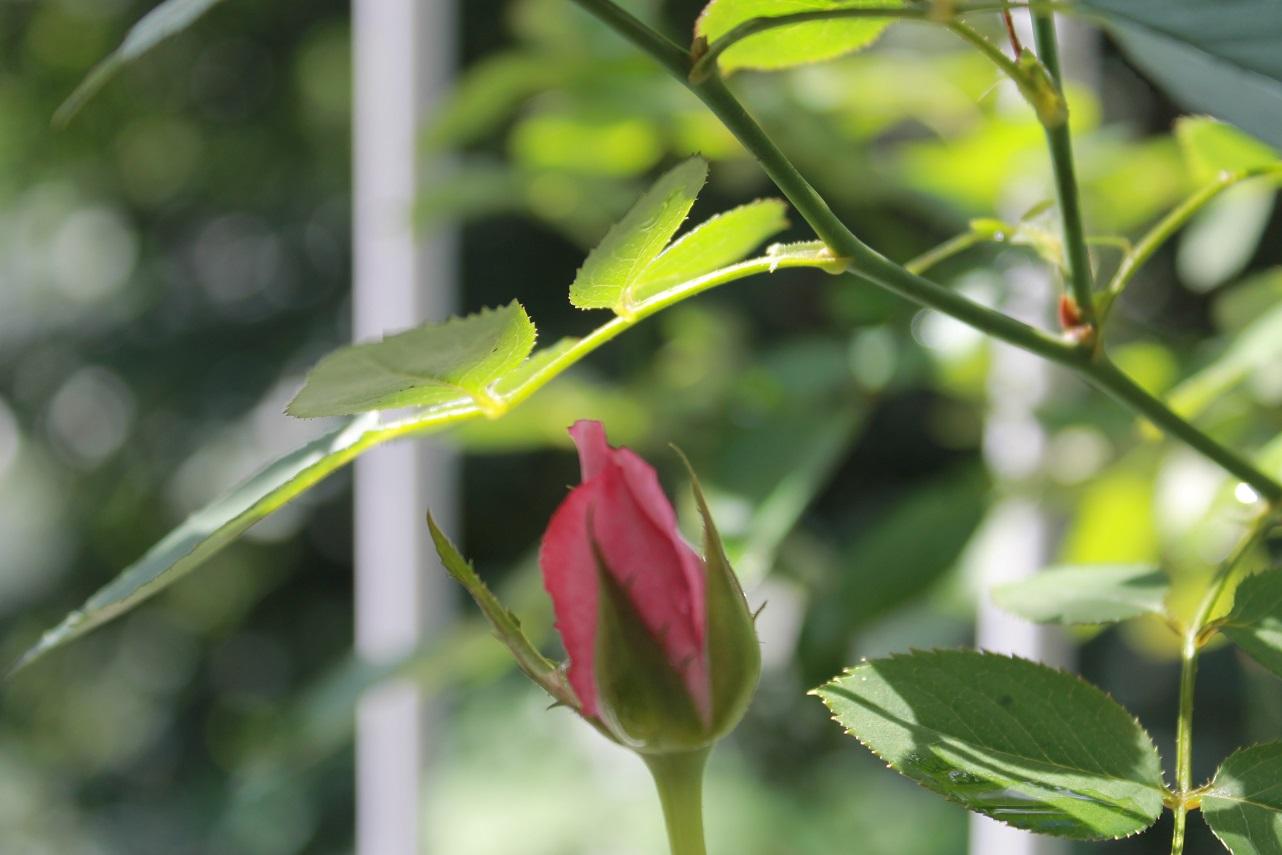 茉莉花を咲きました_f0070743_1139163.jpg