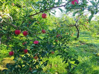 りんごの収穫はじまりました  9・9_e0019167_710033.jpg