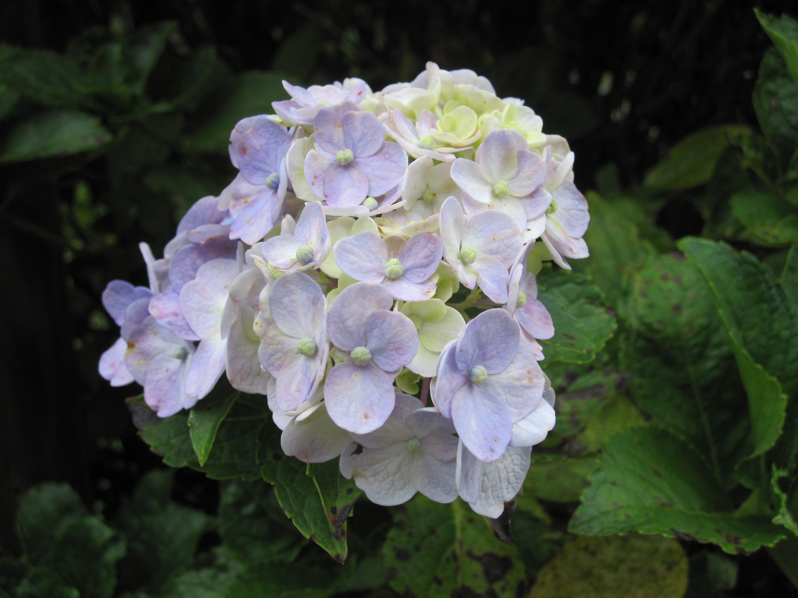 紫陽花の残り花_f0085369_10192222.jpg