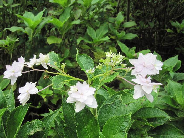 紫陽花の残り花_f0085369_10195055.jpg