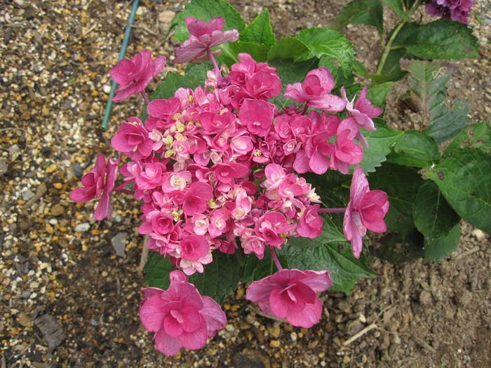 紫陽花の残り花_f0085369_10213779.jpg