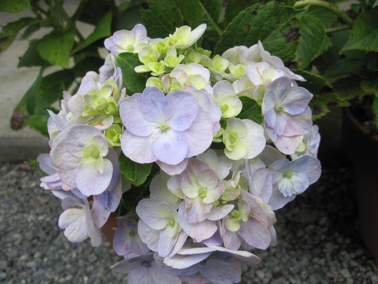 紫陽花の残り花_f0085369_10223318.jpg