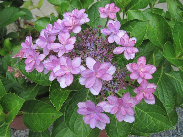 紫陽花の残り花_f0085369_1022759.jpg