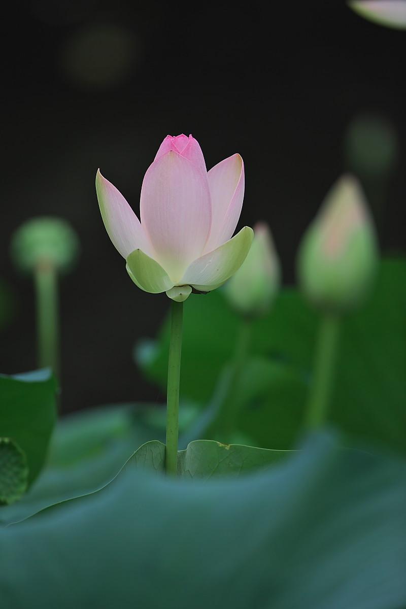 蓮池のカワセミ(2)_d0125872_0352050.jpg
