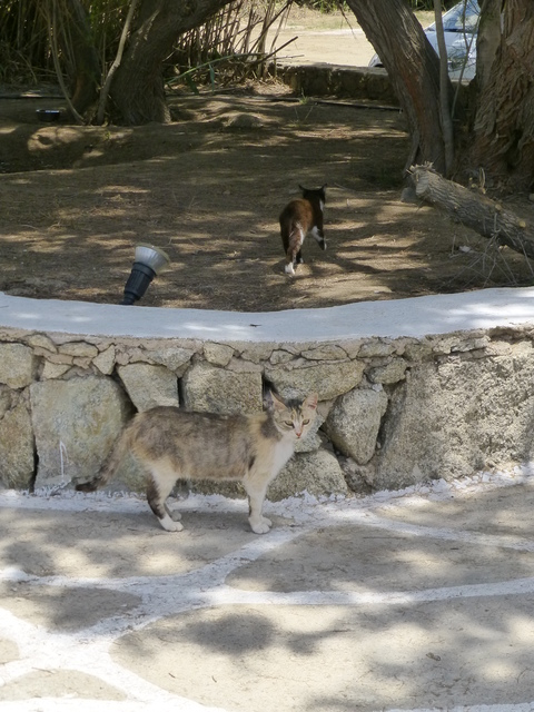 世界の猫 写真館ギリシャ ミコノス島-Super Paradise Beach_e0237625_16521744.jpg