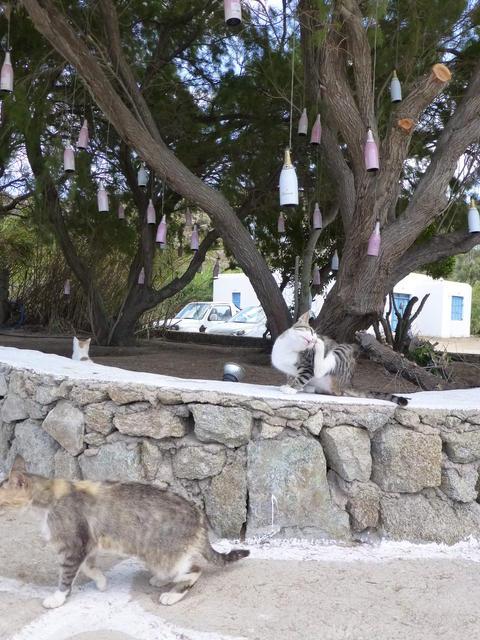 世界の猫 写真館ギリシャ ミコノス島-Super Paradise Beach_e0237625_1714881.jpg