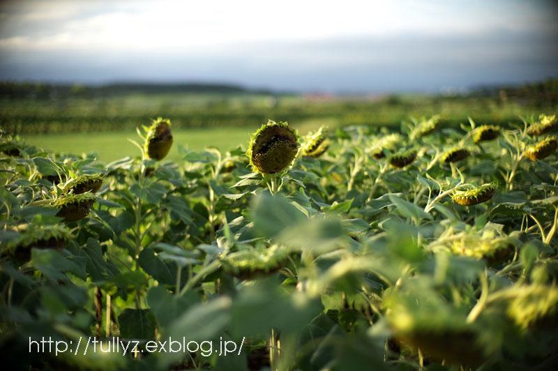 晩夏のひまわり(7)_d0108132_0544161.jpg