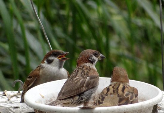 カワラヒワとヒマワリ。餌台の雀の親子など♪_a0136293_16455662.jpg