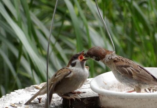 カワラヒワとヒマワリ。餌台の雀の親子など♪_a0136293_16461923.jpg