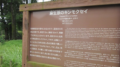 甲佐町の恋愛成就スポット ~麻生原のキンモクセイ~           _b0228113_18125696.jpg