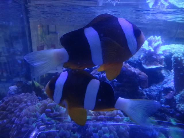 130911 海水魚・侘び草・水草・淡水魚・金魚_f0189122_1226541.jpg