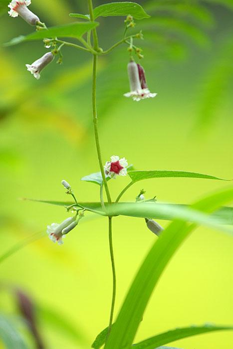 秋の野草たち ~へクソカズラ~_c0067040_23175087.jpg