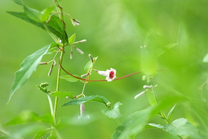 秋の野草たち ~へクソカズラ~_c0067040_23182049.jpg