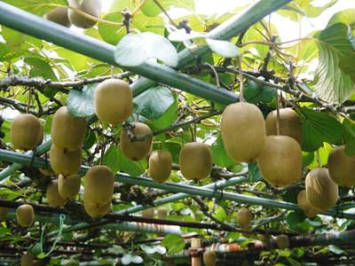 水源キウイ 今年も完全無農薬で順調に育っています!令和元年の収穫及び出荷は11月中旬(予定)です!!_a0254656_2010556.jpg