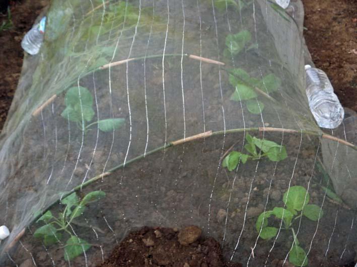 ブロッコリー、ハクサイ、キャベツの苗を植え付け(9・10)_c0014967_920103.jpg