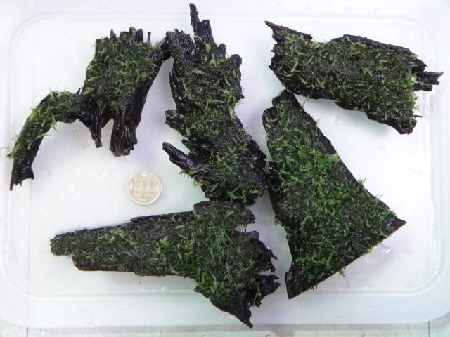 130912 熱帯魚・侘び草・水草_f0189122_13305137.jpg