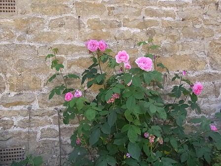 コッツウォールドのバラ..._d0127182_1738283.jpg