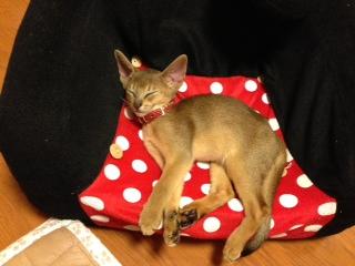 アビシニアン チョコちゃんの子猫_e0033609_1718287.jpg