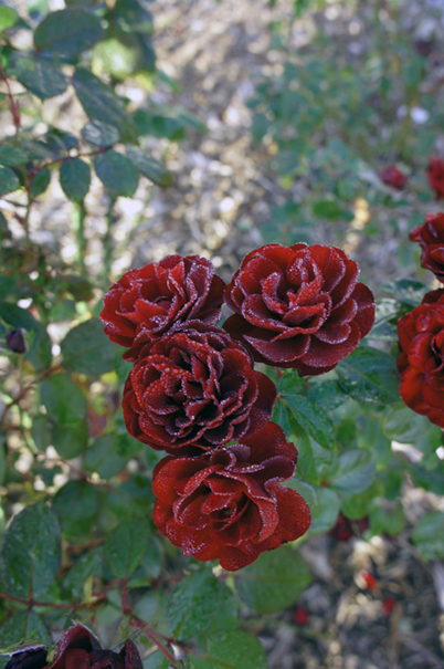 秋の赤花_f0160407_4444467.jpg