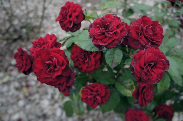 秋の赤花_f0160407_4451262.jpg