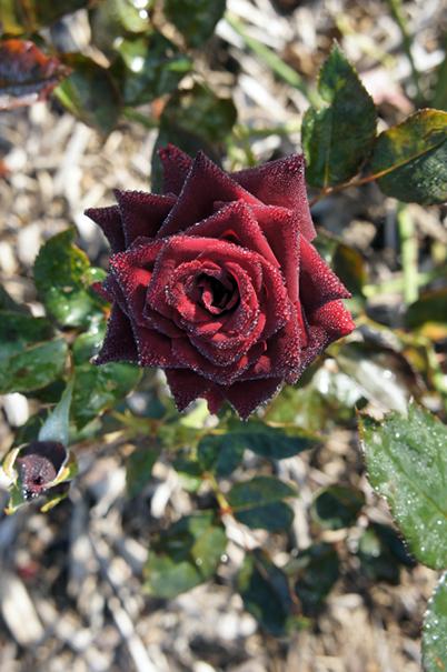秋の赤花_f0160407_4455545.jpg