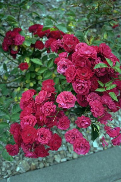 秋の赤花_f0160407_4464547.jpg