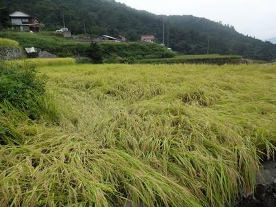 稲刈りを行いました。_b0131012_17565431.jpg