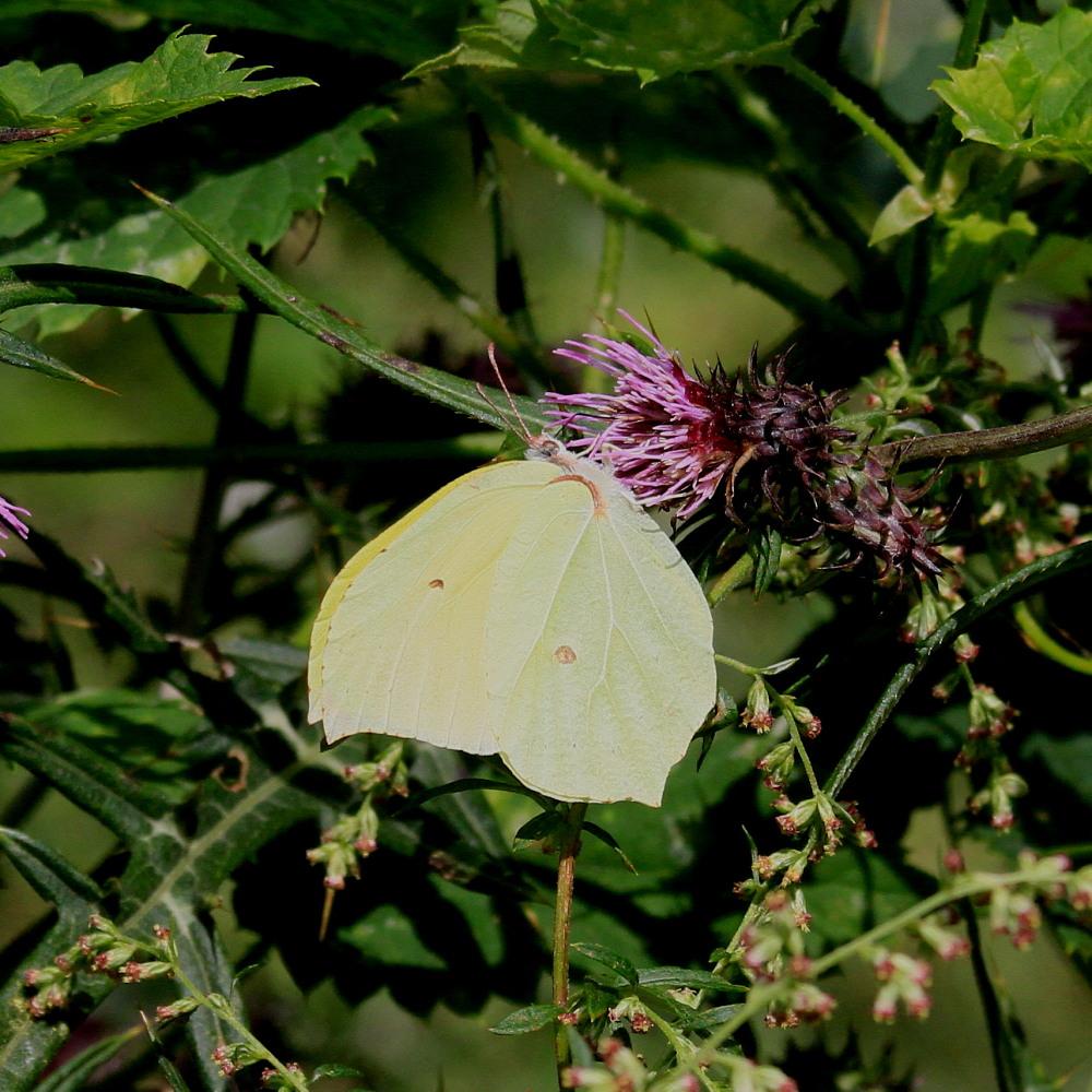 スジボソヤマキチョウ ♀雌の青白さもいいですね。 2013.9.6長野県_a0146869_12373131.jpg