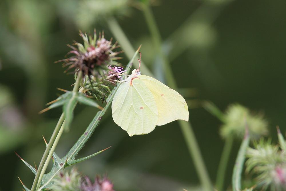 スジボソヤマキチョウ ♀雌の青白さもいいですね。 2013.9.6長野県_a0146869_12373730.jpg