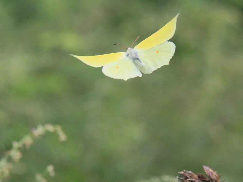 スジボソヤマキチョウ ♀雌の青白さもいいですね。 2013.9.6長野県_a0146869_12374977.jpg
