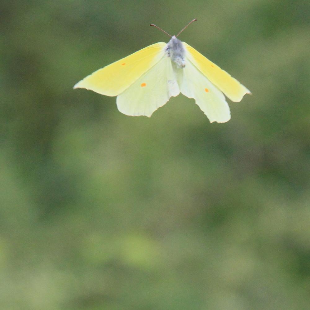スジボソヤマキチョウ ♀雌の青白さもいいですね。 2013.9.6長野県_a0146869_12375436.jpg