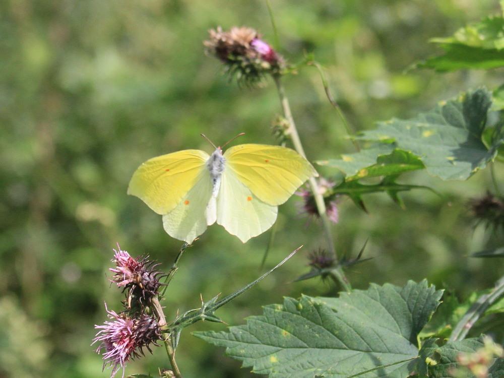 スジボソヤマキチョウ ♀雌の青白さもいいですね。 2013.9.6長野県_a0146869_1238582.jpg