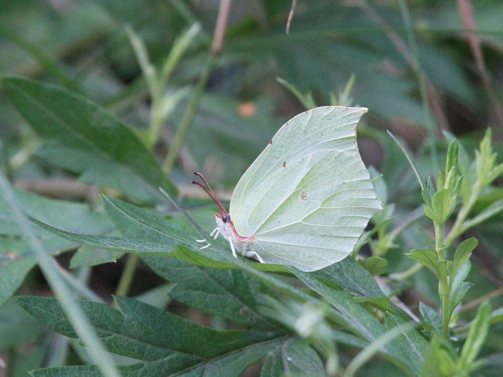 スジボソヤマキチョウ ♀雌の青白さもいいですね。 2013.9.6長野県_a0146869_12431495.jpg