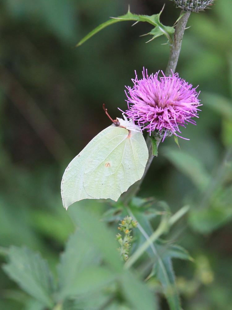 スジボソヤマキチョウ ♀雌の青白さもいいですね。 2013.9.6長野県_a0146869_1243216.jpg