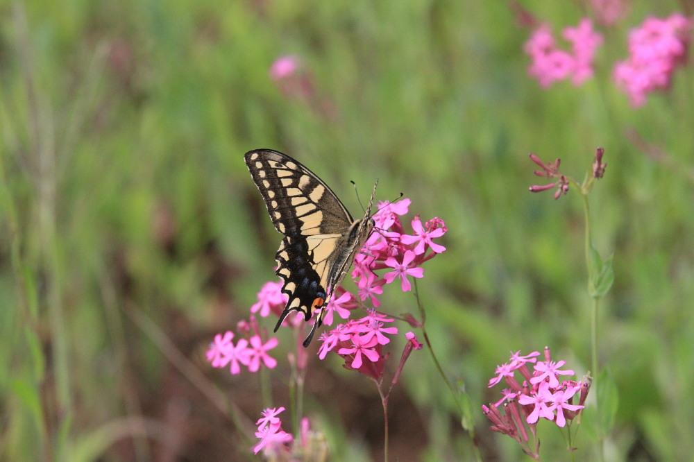 スジボソヤマキチョウ ♀雌の青白さもいいですね。 2013.9.6長野県_a0146869_12473489.jpg