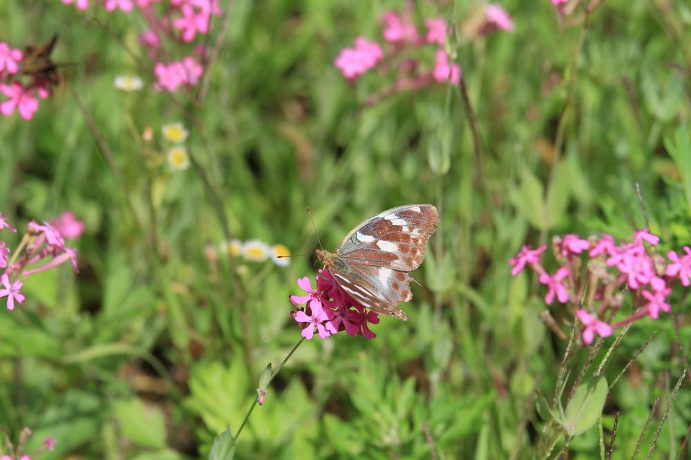 スジボソヤマキチョウ ♀雌の青白さもいいですね。 2013.9.6長野県_a0146869_12495033.jpg